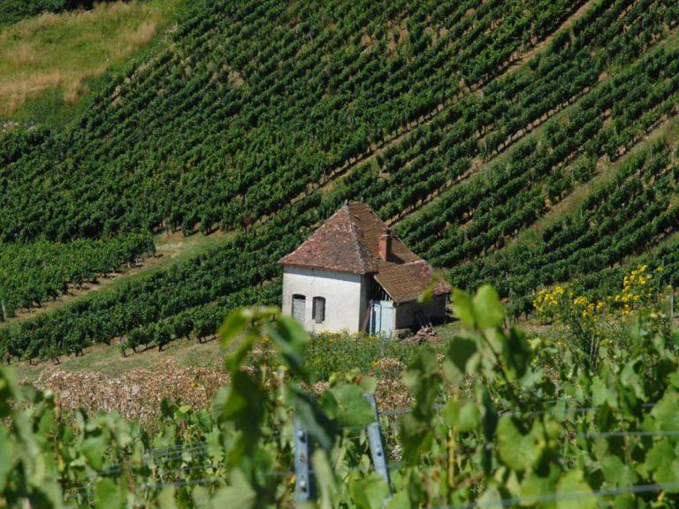 Vignes AOC Côtes du Jura et Château-Chalon